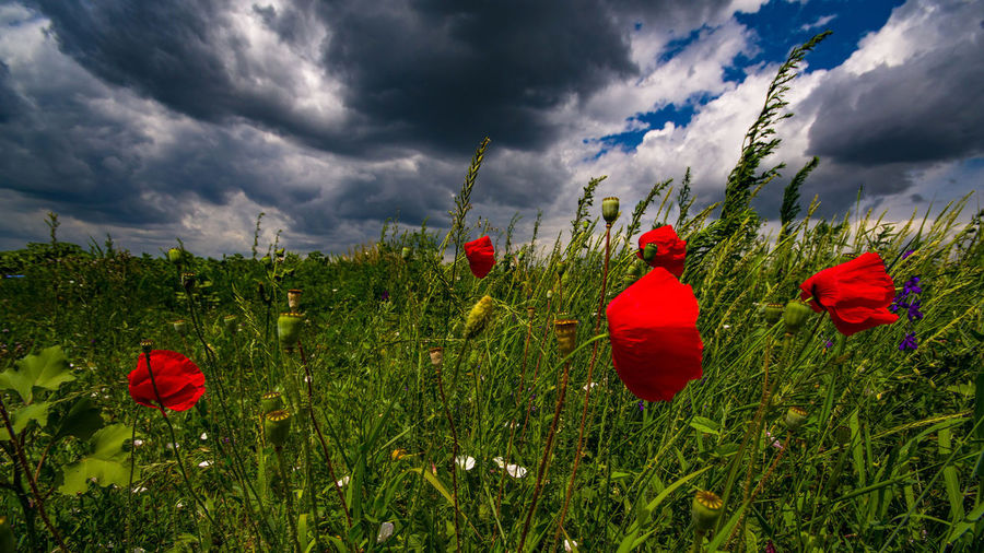 Red poppies in