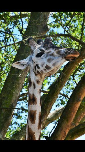 Nikkon d3300 shoot giraffe paridaiza zoo Low Angle View Animals In The Wild Animal Themes Outdoors Nature Giraffe One Animal Branch Leopard