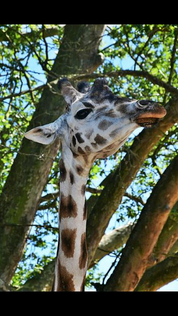 Nikkon d3300 shoot giraffe paridaiza zoo Low Angle View Animals In The Wild Animal Themes Outdoors Nature Giraffe One Animal Branch Leopard