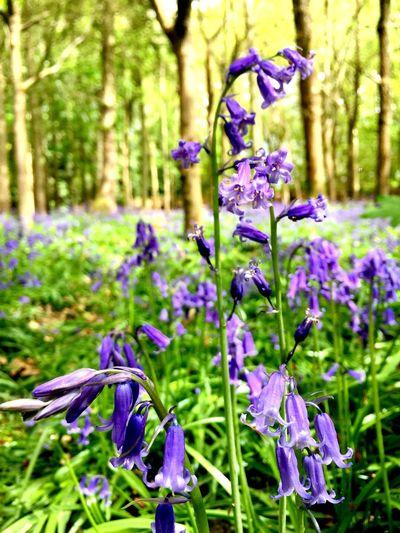 Bluebells Wildflowers England Berkshire