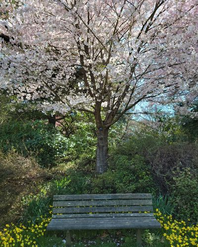 View of cherry tree in park