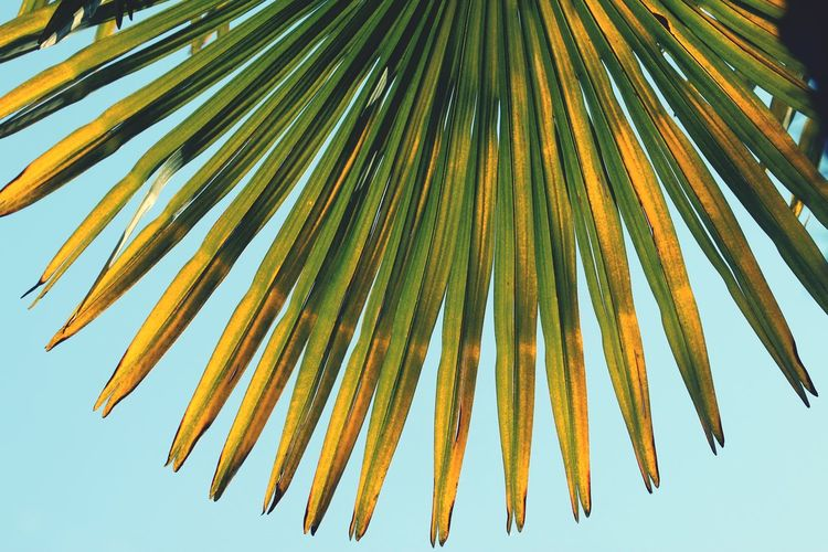 Palm snd Bluesky at lake Maggiore, Italy Lake Maggiore ❤️ Italy❤️ Luino Tree Clear Sky Sky Palm Leaf Frond Fern Date Palm Tree Leaves Palm Tree Plant Life Needle - Plant Part