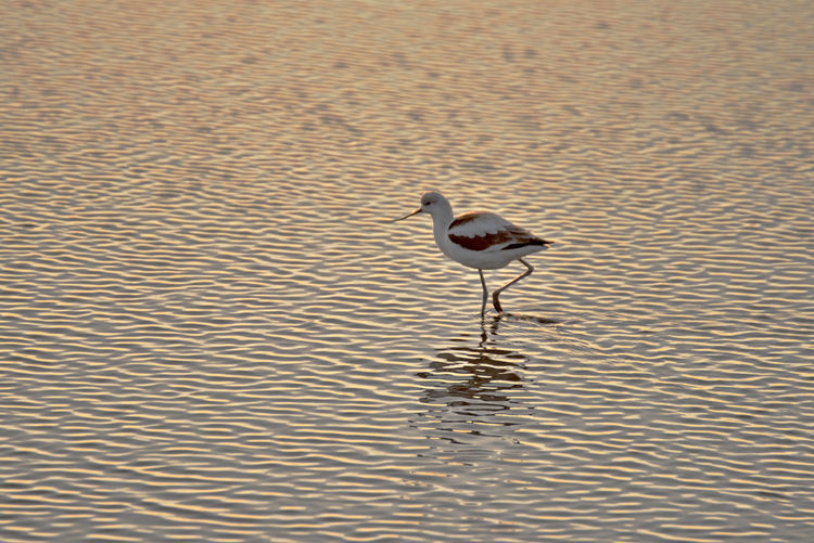 American Avocet At Dawn 4 Twilight Daybreak Recurvirostra Americana Recurvirostridae Birds🐦⛅ Birdwatching Birds_collection Eden Landing Ecological Reserve Hayward, Ca. Tidal Wetlands Marsh Shoreline Waterbird Orinthology Head & Neck Cinnamon In Summer Gray In Winter Migratory Winters Pacific Coast Nature Beauty In Nature Nature_collection Wader Forager Mudflats Shallow Water
