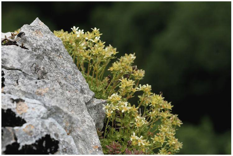 Saxifrage de Gizia, endémique de notre vallée! Plant Rock Nature Flower Focus On Foreground Close-up Stone Saxifrage Endémique Fleur Macro 7dii Canon7DII Rocher Ecologie Ecology Jura France Campagne Gizia