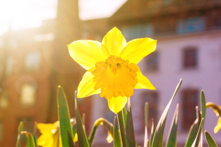 Daffodils in the morning light Beauty In Nature Blooming Close-up Daffodil Daffodils EyeEm Nature Lover Flower Head Flowers Fragility Freshness Garden Grass Green Growing Growth Morning Light Nature No People Plants Sun Sunlight Urban Yellow Outdoor Photography Trumpets