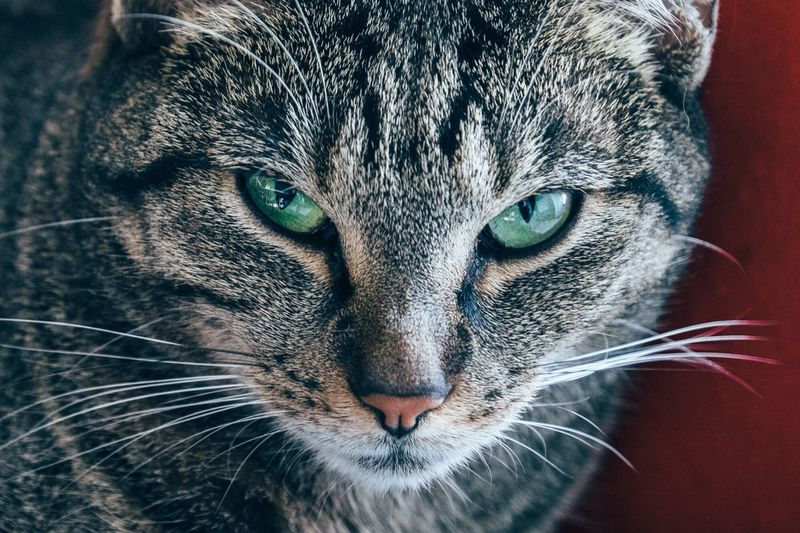 Close-up of a tabby cat
