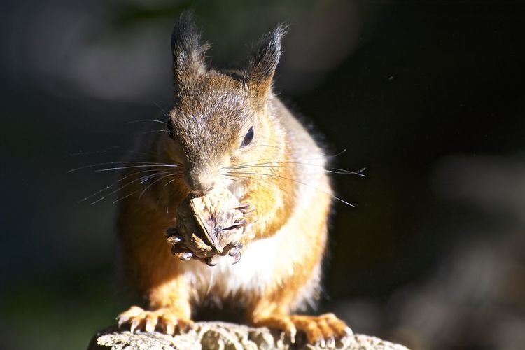 Red Squirrel Squirrel Animal Themes Animal Wildlife Animals In The Wild Close-up Food Nature No People One Animal Outdoors Sunlight