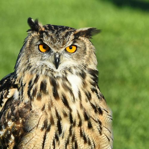 Eurasian Eagle Owl. Owl Owls Eagleowl Bird Photography Birds Birdofprey Nikon Nikonphotography Nikond7200 Nikon300mm First Eyeem Photo