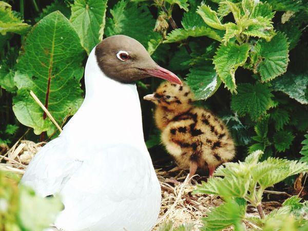 black Beauty In Nature Animal Wildlife Farne Islands Northumberland Animals In The Wild Bird Blackheaded Gull Chick