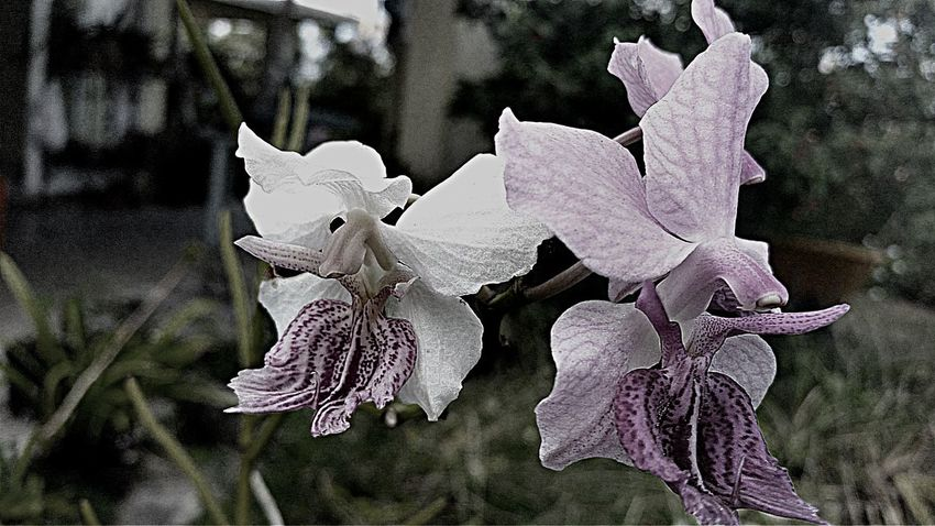 Orchids Blackandwhite Nature Fragility Growth Beauty In Nature Day Petal Close-up Outdoors No People Flower
