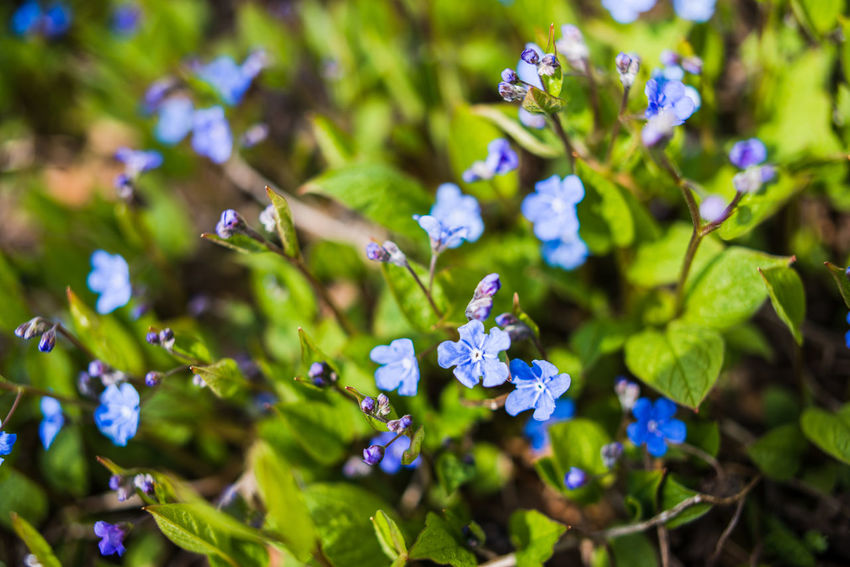 Helsinki Abundance Abundance Of Flowers Beauty In Nature Blue Flowers Close-up Day Flower Flower Head Fragility Freshness Green Color Growth Macro Nature No People Outdoors Petal Plant Purple Selective Focus