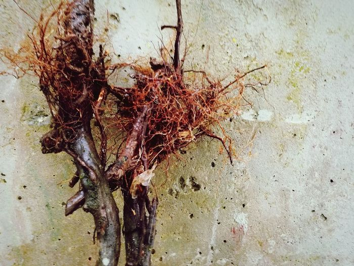 roots against