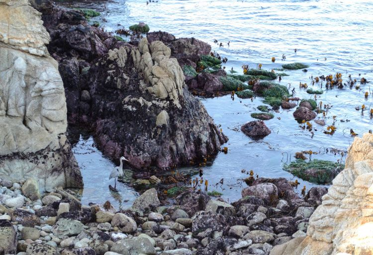 Heron Waves, Ocean, Nature Point Lobos State Park CA Solid Rock - Object Animal Wildlife Nature Sea Day No People Beauty In Nature Tranquility Marine Outdoors Beach