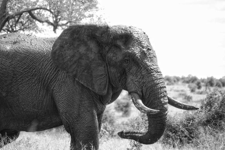 Elephant Animal Trunk Animal Wildlife Animals In The Wild Outdoors Nature African Elephant One Animal Mammal Safari Animals Tusk Day Animal Themes South Africa Kruger National Park, South Africa KrugerEnthusiasts Krugerlife Krugernationalpark Loveit Landscape Grass Portrait Nature No People Tree