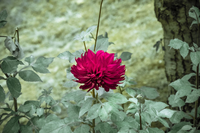 Dalia EyeEm Nature Lover Beauty In Nature Close-up Colorful Day Flower Flower Collection Flower Head Flower Photography Flowering Plant Flowers Focus On Foreground Fragility Freshness Growth Inflorescence Nature No People Outdoors Petal Petals Plant Plant Part Red Vulnerability