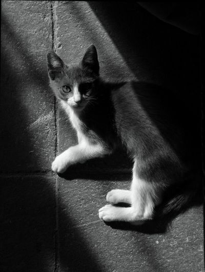 Come join me, the Lights lovely!. Young Cat Cat Photography Cat Watching Cat Eyes Cat Lovers B&w Cat Photography Grey And White Cat George The Cat Robin Fifield - Cats. Monochrome Photography TCPM Depression Awareness Pet Portraits