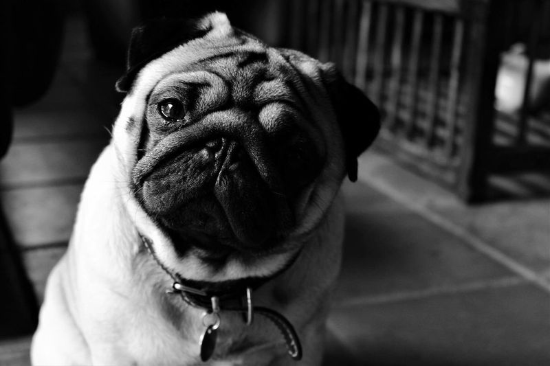 Pug Pugs Chien Dog Dogs Dogslife Noir Et Blanc Blackandwhite Black & White Blancoynegro Canonphotography Canon1200d Pet Portraits