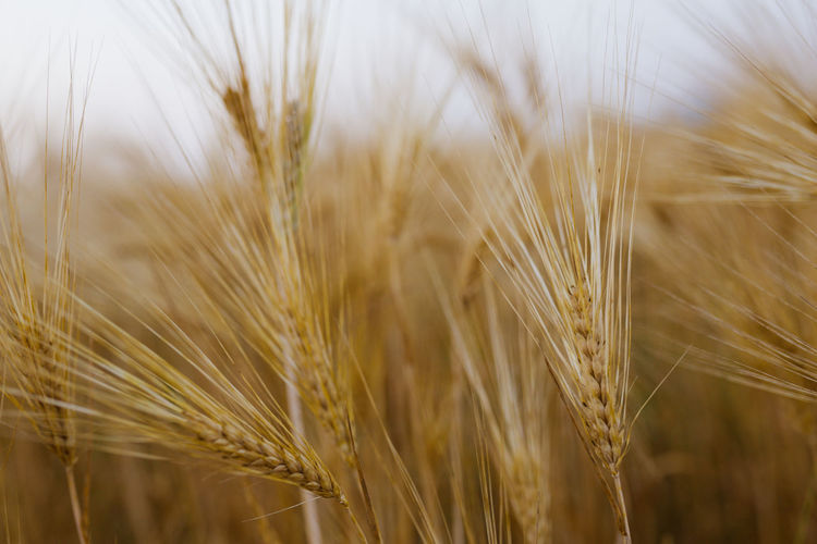 Bale  Baleares Baler Balearic Balearic Islands Crop  Agriculture Cereal Plant Wheat Plant Farm Growth Rural Scene Field Landscape Land Nature Close-up No People Beauty In Nature Ear Of Wheat Day Focus On Foreground Selective Focus Tranquility Outdoors Ripe Rye - Grain