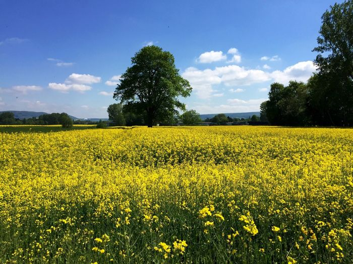 Beautiful view of oilseed rape farm
