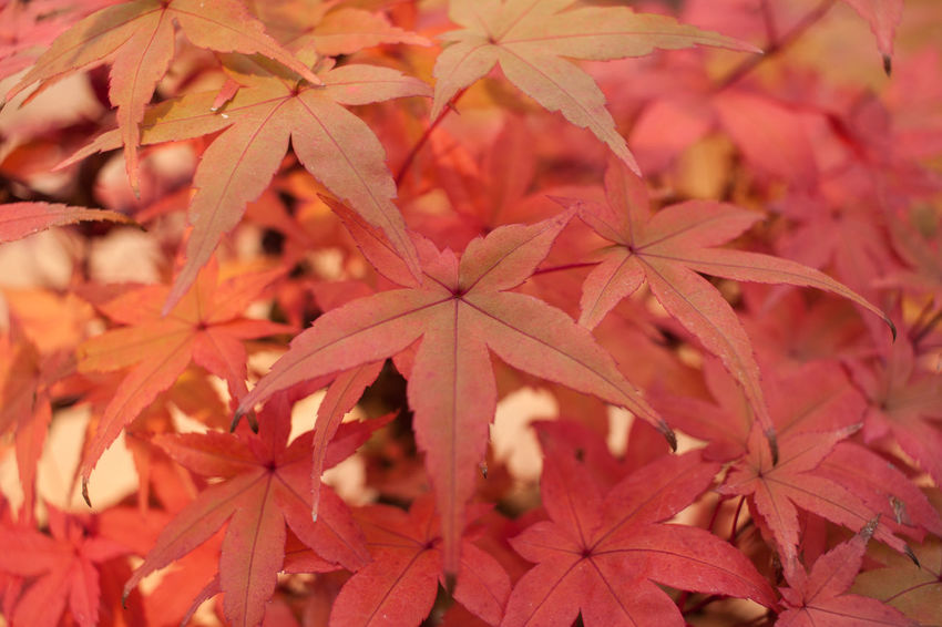 Red Beauty In Nature Bonsai Bonsai Tree Close-up Day Focus On Foreground Fragility Growth Leaf Maple Maple Leaf Nature