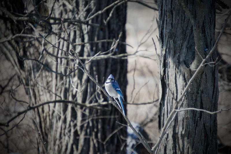 Blue jay perching on bare tree