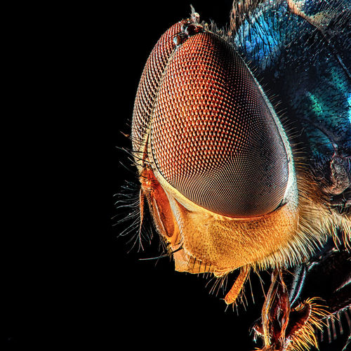 Close-up of fly against black background