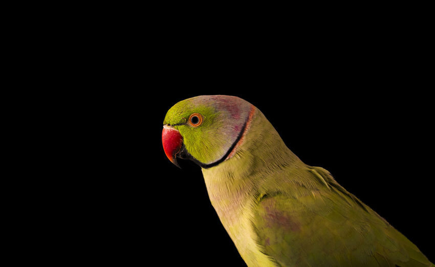 Close-up of parrot perching on black background