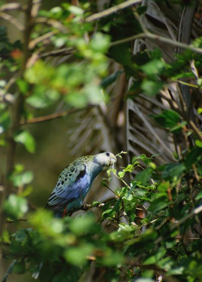 Pale-crested Rosella Rosella Parrot Rosella Canon Photography Bird Photography Australia Animal Themes Animal Wildlife Animal Animals In The Wild One Animal Vertebrate Plant Tree Nature Plant Part Green Color No People Leaf Day Close-up Focus On Foreground Branch Growth Bird