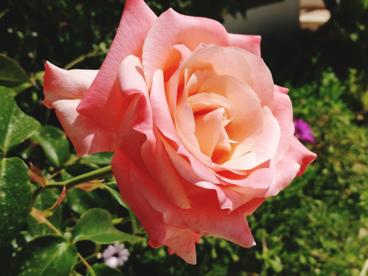 flower, petal, flower head, nature, fragility, rose - flower, growth, beauty in nature, plant, freshness, close-up, pink color, no people, focus on foreground, outdoors, blooming, day