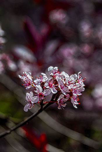 Close-up of pink cherry blossom