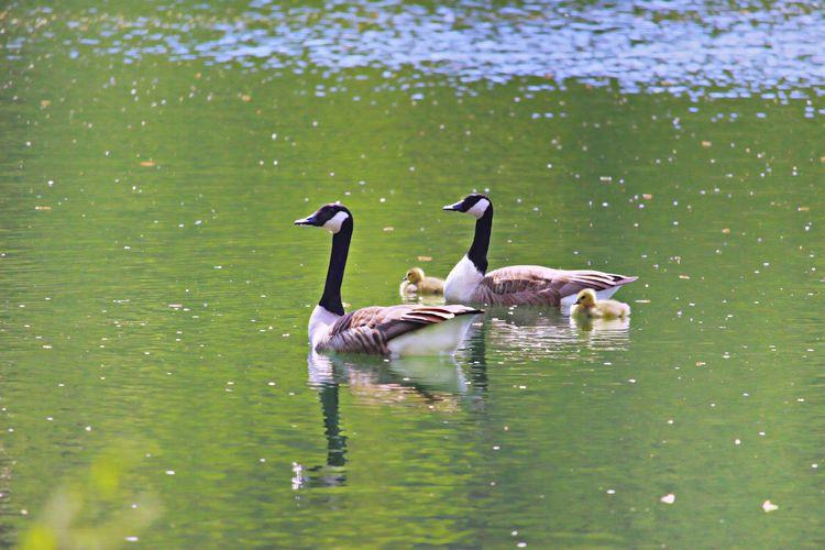 Side view of ducks in water
