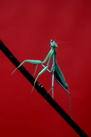 Close-up of insect on red background