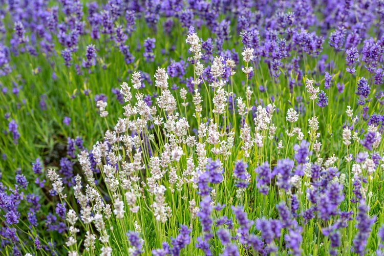 A full frame photograph of purple and white lavender flowers Flowering Plant Flower Plant Vulnerability  Growth Beauty In Nature Fragility Purple Freshness Nature Field Lavender Land No People Close-up Day Lavender Colored Petal Outdoors Selective Focus Flowerbed White Lavender
