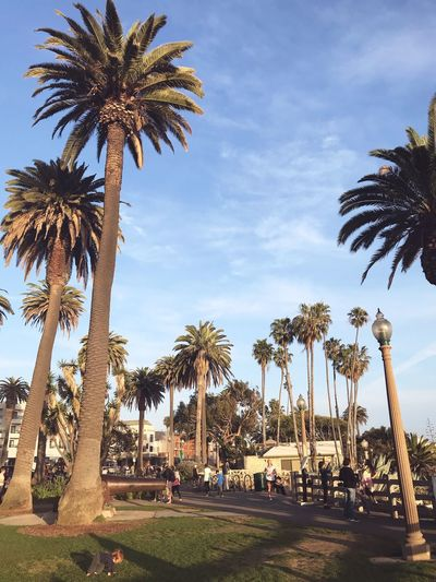 Beautiful Palisades Park in Santa Monica 🌴🌴 Los Angeles, California Palisades Park EyeEm Selects Tree Palm Tree Plant Tropical Climate Sky Growth Nature Low Angle View Cloud - Sky Tall - High Park Outdoors Sunlight Day Beauty In Nature
