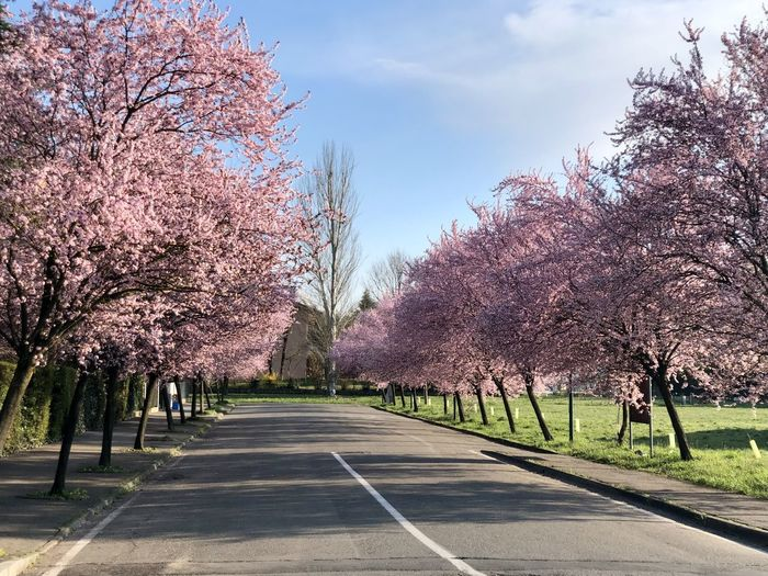Cherry blossom trees by road against sky