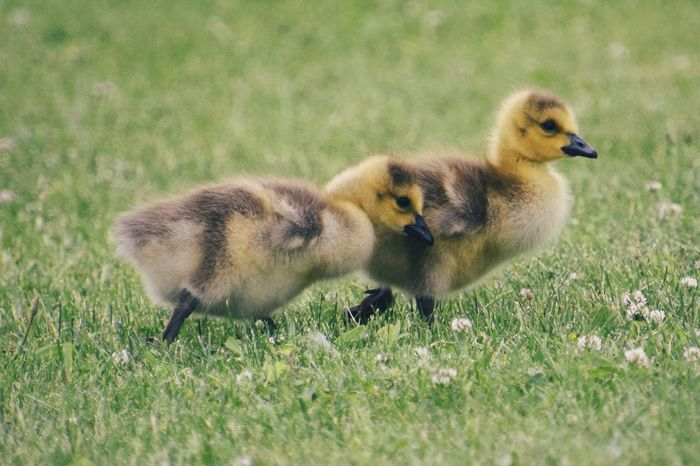 Summer Summertime Nature Nature_collection Wildlife Wildlife & Nature Wildlife Photography Bird Young Animal Gosling Young Bird Duckling Field Goose Animal Themes Grass Geese Water Bird
