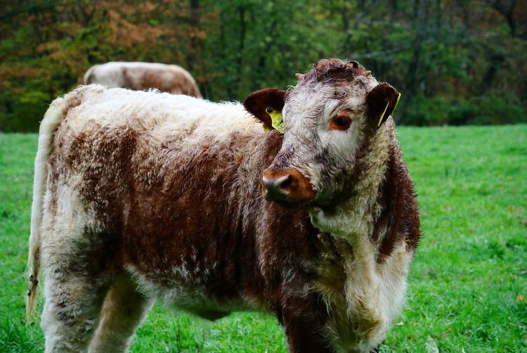Galloway Cattle Galloway Rinder Portrait Field Grass Close-up Livestock Cow Calf Cattle