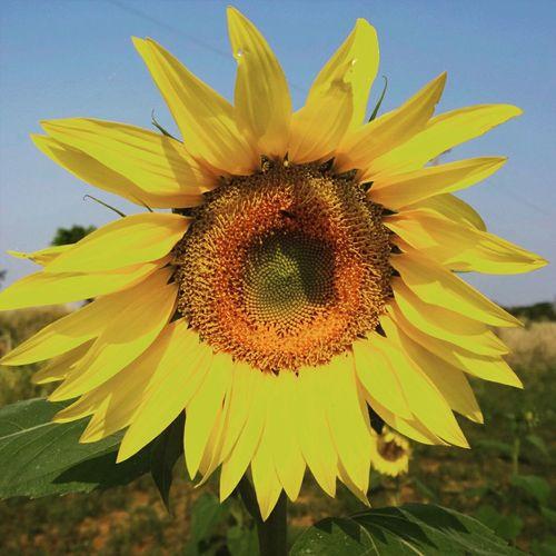 Como el girasol busca el sol,asi yo busco tu rostro desde el amanecer y estoy contigo todo el dia Hello World Paraguay Tierra Bendita Flowers Relaxing