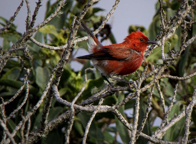 The ʻapapane is a species of Hawaiian honeycreeper that is endemic to Hawaii. The bright crimson feathers of the ʻapapane were once used to adorn the ʻahuʻula, mahiole, and nā lei hulu of aliʻi. Hawaii Mauna Kea Animal Themes Animal Wildlife Animals In The Wild Bird Branch Close-up Day Focus On Foreground Nature No People One Animal Outdoors Perching Red Tree