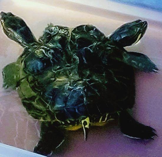 #Seaturtle #twoheadedturtle Animals_captures Wildlifephotography Splendid_animals #Venice #california #photography #Nature  #beautiful Underwater Painted Image Close-up Sea Life