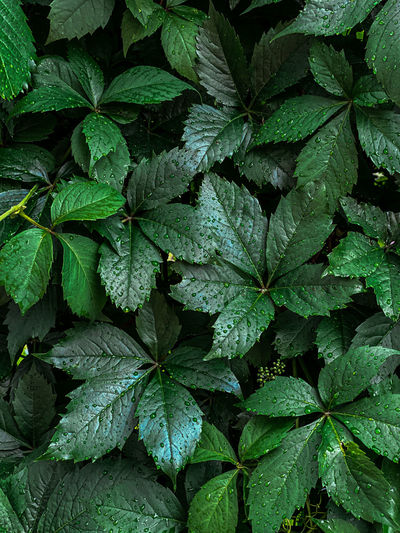 Background of green juicy wild grape leaves