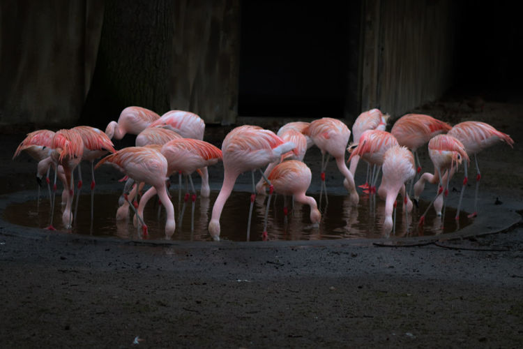 Flamingos drinking water while standing in pond