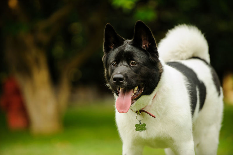 Close-up of japanese akita standing outdoors