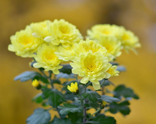 Flower Flowering Plant Freshness Fragility Plant Vulnerability  Beauty In Nature Yellow Close-up Flower Head Petal Inflorescence Growth Nature Selective Focus No People Focus On Foreground Outdoors Day Beginnings Flower Arrangement