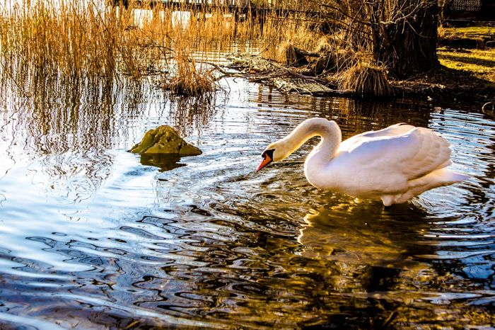 Look Ing around Animals In The Wild Water Bird Lake Animal Themes Reflection Animal Wildlife Nature One Animal Day Water Bird Rippled No People Waterfront Outdoors Swimming Swan Beauty In Nature Flamingo Close-up