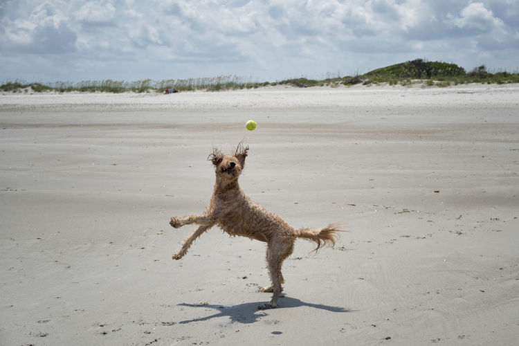Full length of dog playing with ball at beach during sunny day