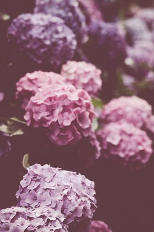 hydrangea hortensis blossoms - summer gardens - vintage look Blossoms  Filtered Image Flowers, Nature And Beauty Gardens Hydrangea In Bloom Hydrangeas Nature Nature Backgrounds Nature_collection Processed Image Retro Style Summer Gardens Vintage Looks