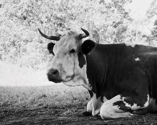 A cow hiding from the sun Cow Cattle Domestic Animals Livestock Animal Sunny Summer Hot Warm Lying Shadow Monochrome Blackandwhite Black And White Black & White Rest Mammal Animal Themes One Animal Portrait No People Outdoors Grass Day Nature The Week On EyeEm