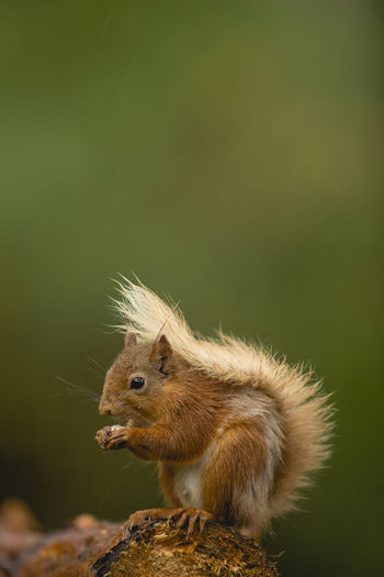 Red Squirrel Animal Themes British Mammals Close-up Cuddly Cute Day Mammal Nature No People Nuts One Animal Outdoors Red Squirrel Red Squirrel Eating Red Squirrel, Wildlife, Scotland Red Squirrels Squirell Eating Squirell On Tree Squirrel Squirrel Closeup Squirrels Wilderness Wildlife & Nature Wildlife And Nature Wildlife Photography