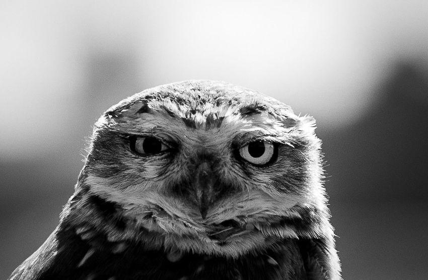 Owl Owl Eyes Owl Animal Themes Animal One Animal Vertebrate Bird Animal Wildlife Animals In The Wild Close-up Focus On Foreground No People Animal Body Part Day Beak Portrait Animal Head  Looking Nature Bird Of Prey Looking At Camera Outdoors